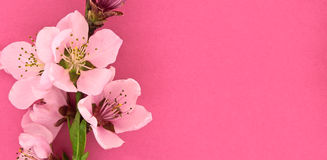 Blooming sakura, spring flowers on pink background with space Stock Photo