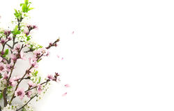 Blooming sakura, spring flowers on white background Royalty Free Stock Image