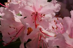 Sakura blossoms in spring -. Blooming sakura in the spring in the morning sun of Japan Royalty Free Stock Photography