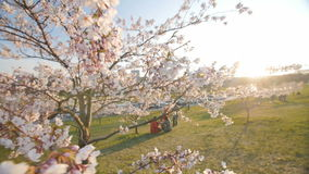 Blooming sakura. Sunlight. Moving camera, slow motion. Branch of a blossoming cherry tree with beautiful white flowers. Shallow depth of field. Slow motion stock footage