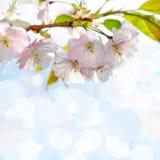 Blooming sakura tree Royalty Free Stock Photos
