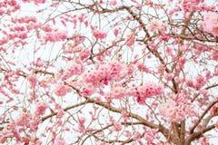 Blooming sakura tree. In april royalty free stock photography