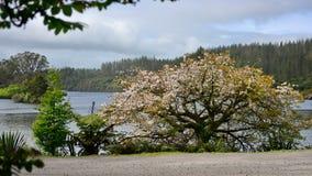 Blooming sakura tree at the bank of Lake Mangamahoe Stock Photo