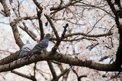 Blooming sakura tree Royalty Free Stock Photo