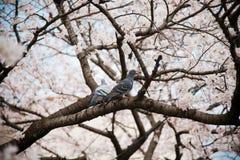 Blooming sakura tree Royalty Free Stock Images