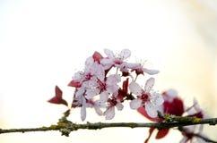 Blooming sakura tree branch in Redmond - 2018,1 Stock Image