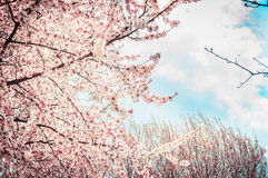 Blooming sakura tree on sky background in garden or park. Royalty Free Stock Photography