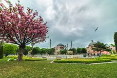 Blooming sakura tree and view of Aya Sofia. View from the Sultanahmet square in spring time stock images