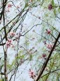 Blooming Sakura Trees Stock Photo