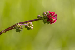 Blooming Salad burnet Stock Image