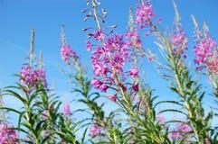 blooming Sally Stockbilder