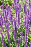 Blooming Salvia flowers in Denmark during summer. Blooming Salvia purple flowers in Denmark close up stock photos