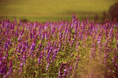 Blooming Salvia purple flowers in summer field stock images