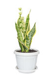 Blooming Sansevieria Royalty Free Stock Photography