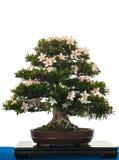 Blooming Satsuki-Azalea as bonsai tree Royalty Free Stock Image