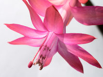 Blooming Schlumbergera Stock Photography