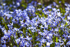 Blooming scilla flowers Royalty Free Stock Photos