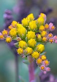 Blooming sedum Royalty Free Stock Photos
