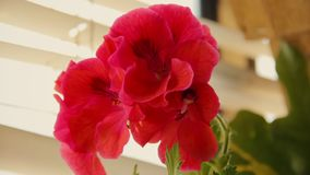 Blooming semperflorens begonia, in a pot. Garden flower bed. stock video