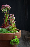 Blooming sempervivum calcareum flowers, hens and chicks plant. Rough wooden background Stock Images