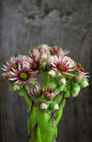 Blooming sempervivum calcareum flowers, hens and chicks plant Royalty Free Stock Photos