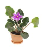 Blooming senpolia  in pot i. Flower  pink viola in pot on white isolated Stock Photos