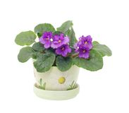 Blooming senpolia Silent Prayer. Viola Silent Prayer in pot on white isolated Stock Photo