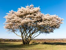 Blooming serviceberry, Amelanchier lamarckii, Holland Royalty Free Stock Images