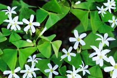 Blooming shamrocks Royalty Free Stock Images