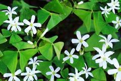 Blooming shamrocks Royalty Free Stock Images