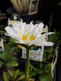 Blooming Shasta Daisy stock images