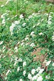 Blooming shrub of Spiraea vanhouttei Stock Image