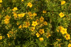 Blooming shrubby cinquefoil Kuril tea shrub, and it is a herbaceous shrub stock images