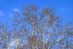 Blooming silver poplar. Silver poplar tree in spring. Poplar Royalty Free Stock Photography