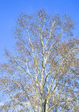 Blooming silver poplar. Silver poplar tree in spring. Poplar Stock Photo