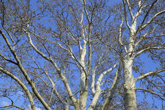 Blooming silver poplar. Silver poplar tree in spring. Poplar Stock Photos