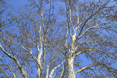 Blooming silver poplar. Silver poplar tree in spring. Poplar Stock Photography