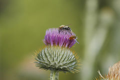 Blooming silver thistle Stock Image