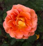 Blooming Single Orange Rose in garden blurred background. Grandmother`s garden with orange rose set against blurred background in a shallow depth of field photo royalty free stock photos