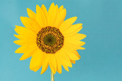 Blooming single sunflower Royalty Free Stock Images