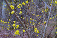 Blooming with small yellow flowers cornelian cherry background. Stock Photos