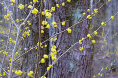 Blooming with small yellow flowers cornelian cherry background. Stock Image