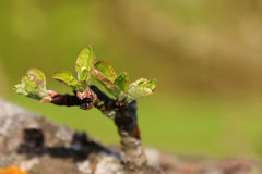 Blooming of small young green leaves on apple tree branch Stock Images