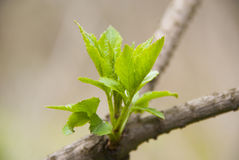 Blooming of small young green leaves on tree branch Stock Photography