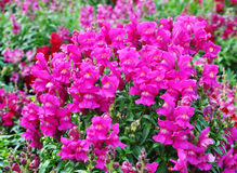 Blooming snapdragon Stock Photography