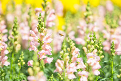 Blooming snapdragon flower Royalty Free Stock Photography