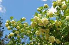 Blooming snowball tree Viburnum buldenezh Royalty Free Stock Photo