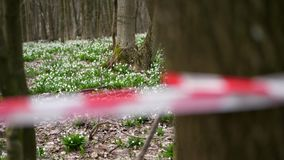 Close-up, red fencing tape. Blooming snowdrops in the forest, a protected area, fenced with a red ribbon. Snowdrops are. Blooming snowdrops in the forest, a stock video footage