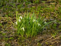 Blooming snowdrops, Galanthus nivalis, grows in dry grass, early spring closeup, selective focus, shallow DOF Royalty Free Stock Photo