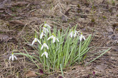Blooming snowdrops, Galanthus nivalis, grows in dry grass, early spring closeup, shallow DOF, selective focus Stock Photo
